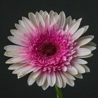 Gerbera White-Pink Fluffy