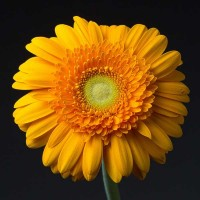 Gerbera Yellow Terry