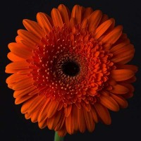 Gerbera Orange Fluffy