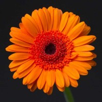 Gerbera Light Orange